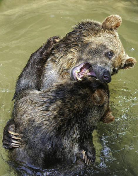 Grizzly Cubs Roughhousing Poster