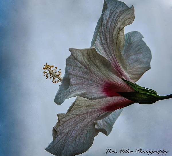 Happy Hibiscus At Biltmore Conservatory Poster