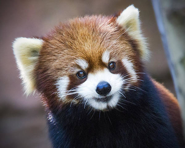 Happy Red Panda Poster
