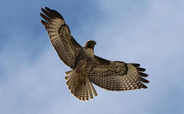 Hawk In Flight  Poster