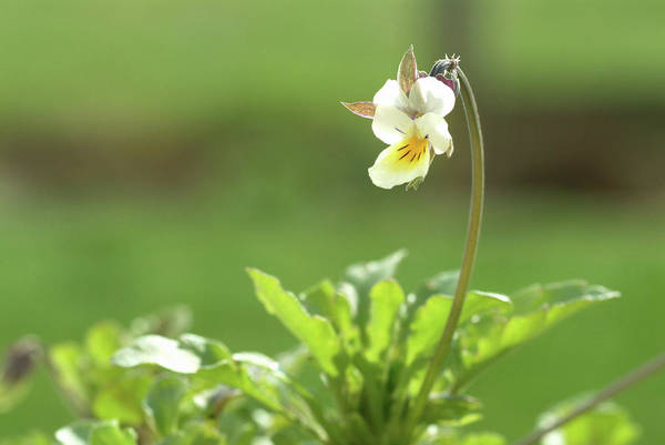 Heartsease (viola Tricolor) Poster