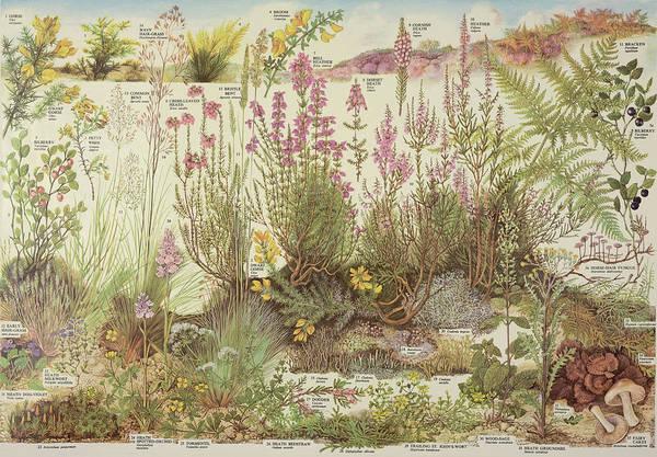 Heathland Plants Poster