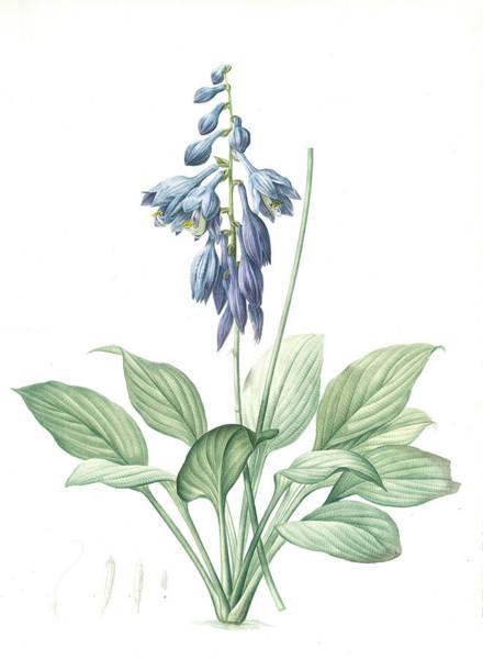 Hemerocallis Caerulea, Hosta Caerulea Hémérocalle Bleue Poster