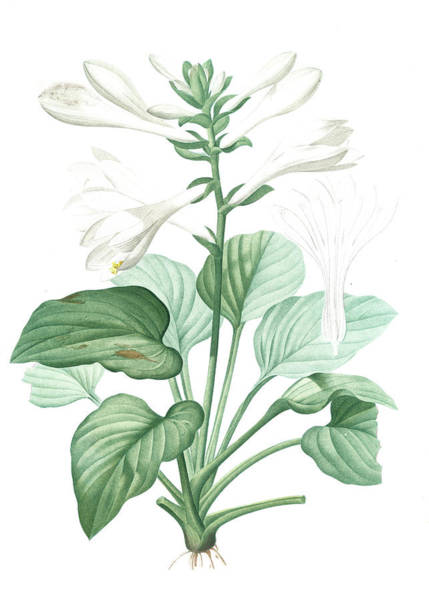 Hemerocallis Japonica, Hosta Plantaginea Hémérocalle Du Poster