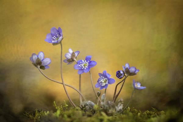 Hepatica Nobilis Flower Poster