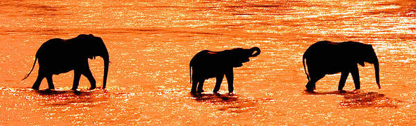Herd Of African Elephants Loxodonta Poster
