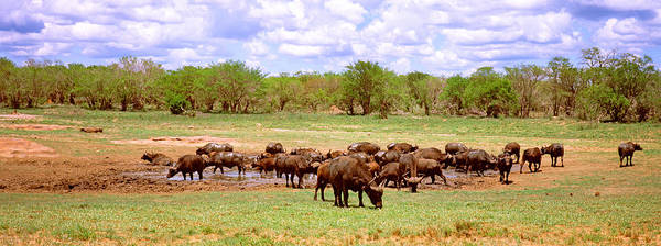 Herd Of Cape Buffaloes Syncerus Caffer Poster
