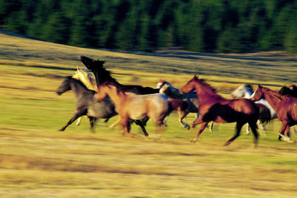Herd Of Horses Running, Oregon, United Poster