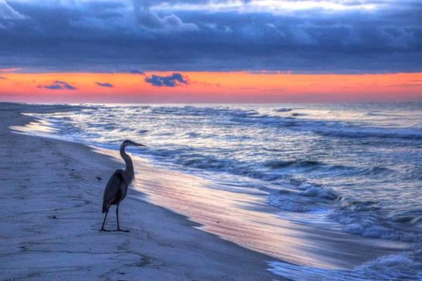 Heron On Mobile Beach Poster
