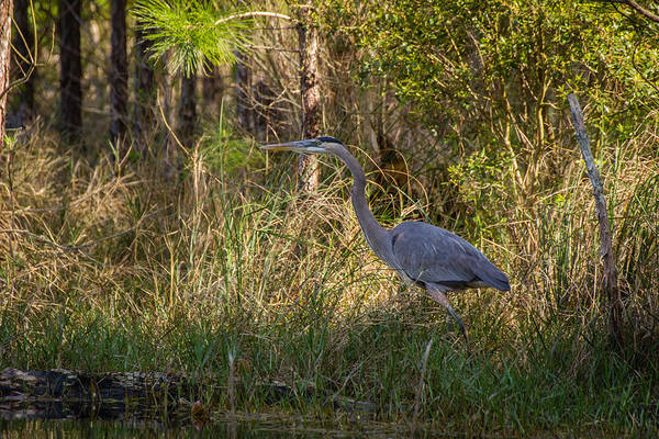 Heron On The Hunt Poster