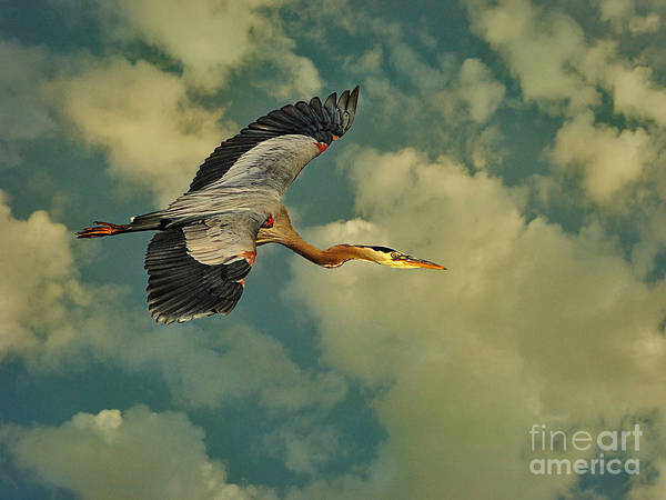 High Flying Great Blue Heron Poster