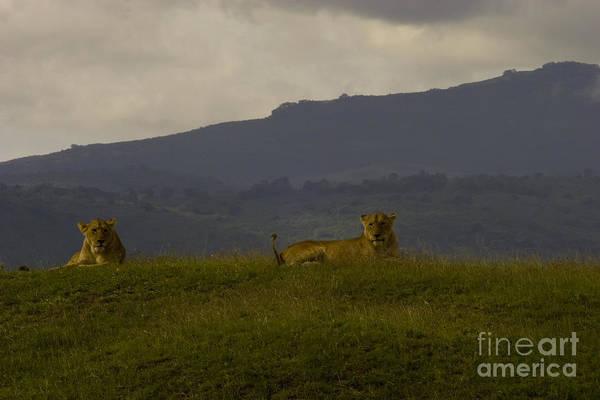 Hillside Lions Poster