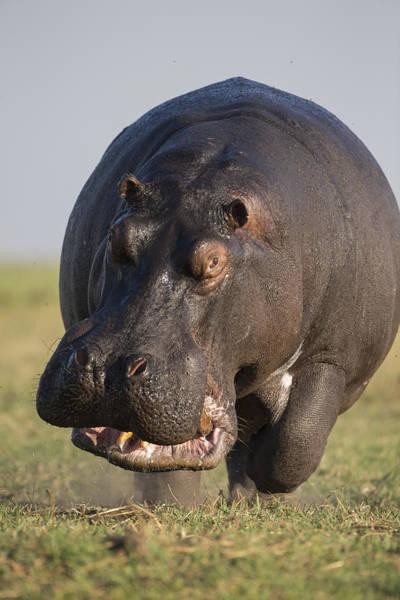 Hippopotamus Bull Charging Botswana Poster