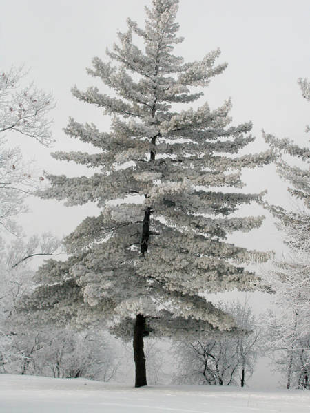 Hoarfrost Pine Tree Poster