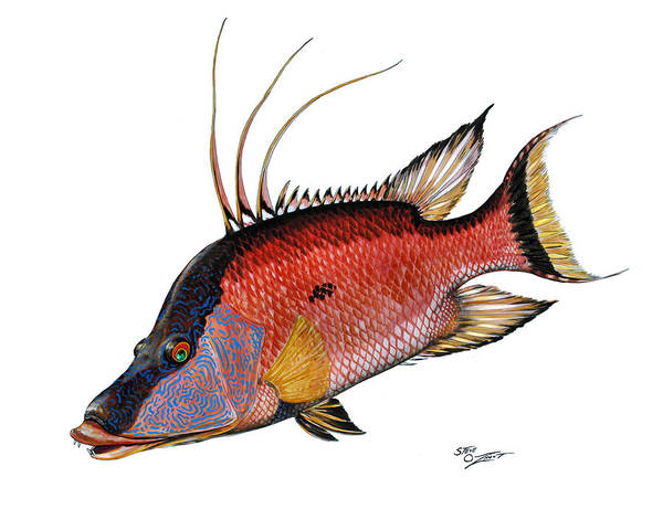 Hogfish On White Poster