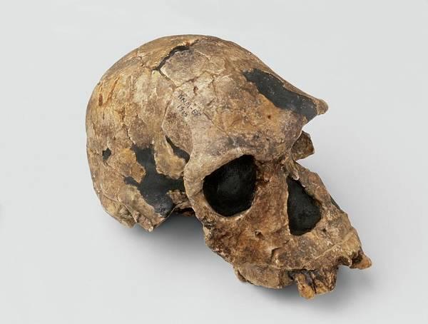 Homo Habilis Skull Poster