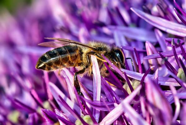Honeybee Romping In The Garlic Poster