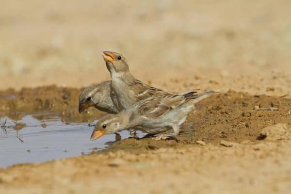 House Sparrow Passer Domesticus Biblicus Poster
