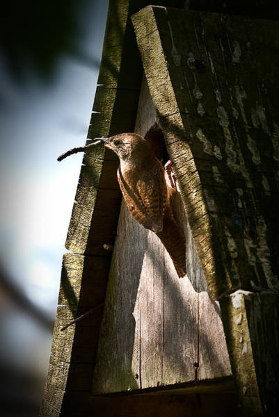 House Wren At Nest Box Poster