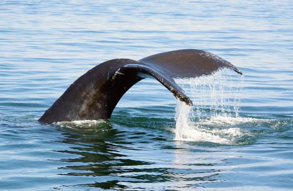 Humpback Whale Fluke. Poster