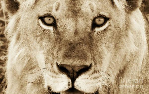 Hypno Lion Poster