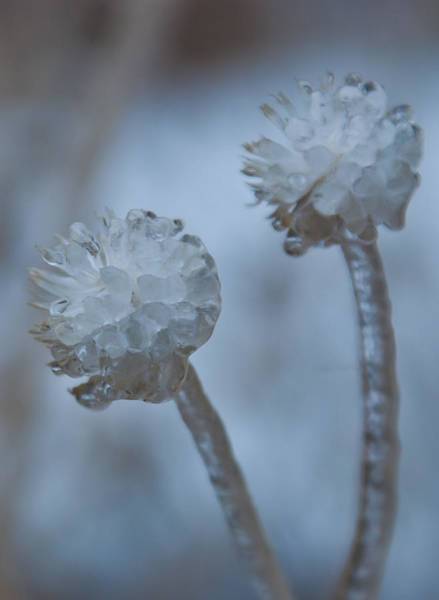 Ice-covered Winter Flowers With Blue Background Poster