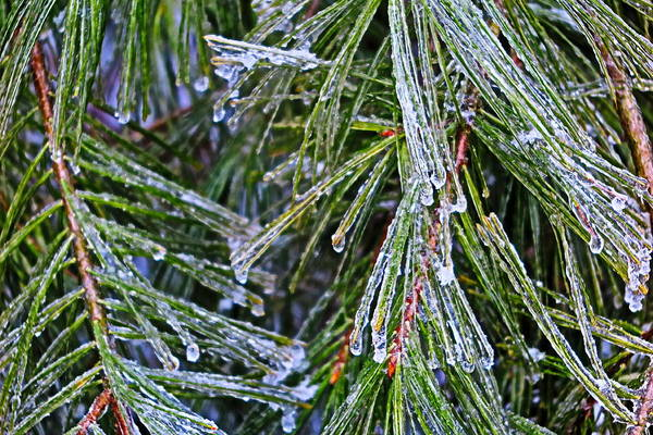 Ice On Pine Needles  Poster
