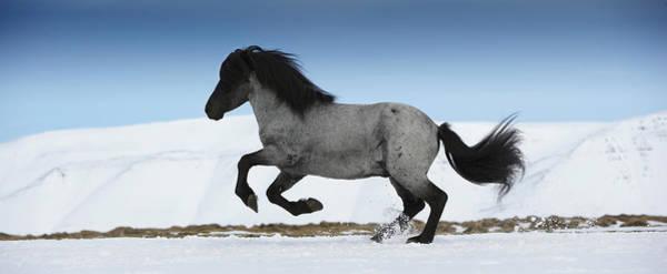 Icelandic Horse Running, Iceland Poster