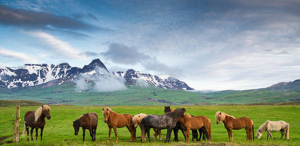 Icelandic Horses In Mountain Landscape In Iceland Poster