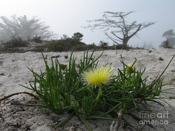 Iceplant Bloom On Carmel Dunes Poster