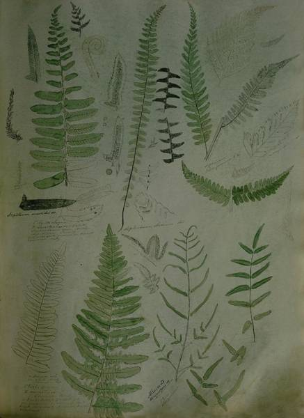 Illustrations Of Fern Plants Poster
