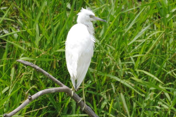 Immature Little Blue Heron On Watch Poster
