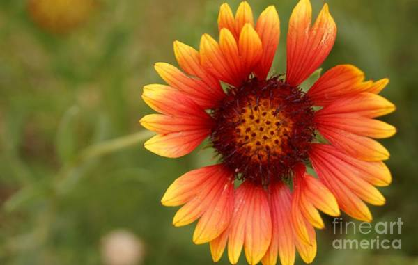 Indian Blanket Flower Poster
