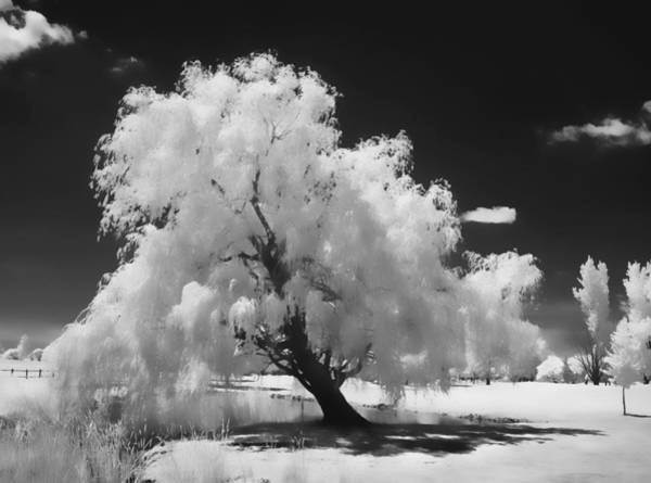 Poster featuring the photograph Infrared Willow Tree Study  by Rich Stedman