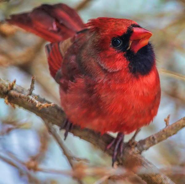 Inquisitive Cardinal Poster