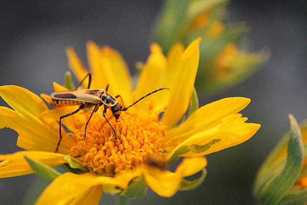 Insect On Cowpen Daisy Poster