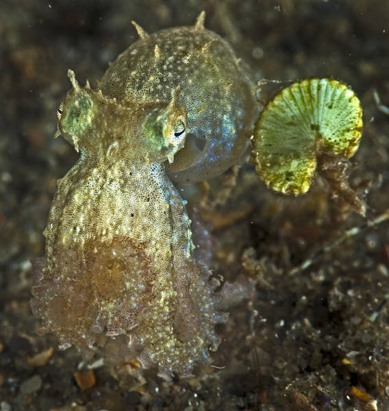 Iridescent Baby Octopus Poster