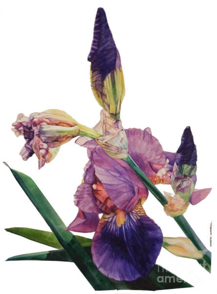 Watercolor Of A Tall Bearded Iris In A Color Rhapsody Poster