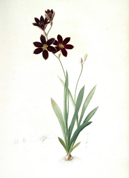 Ixia Grandiflora, Ixia à Grande Fleur, Redouté Poster