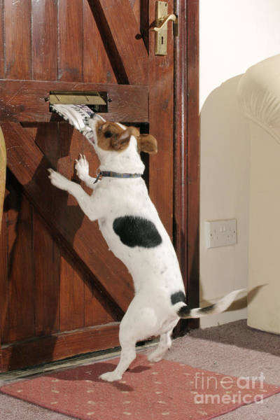 Jack Russell Terrier Gets Paper Poster