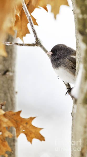 Junco And Oak Poster