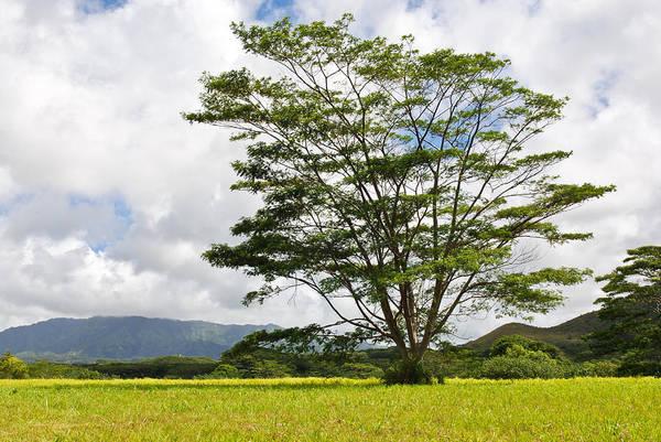 Kauai Umbrella Tree Poster