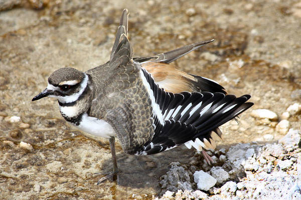 Poster featuring the photograph Killdeer Fakeout by Shane Bechler