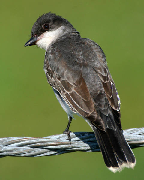 Kingbird On A Wire Poster