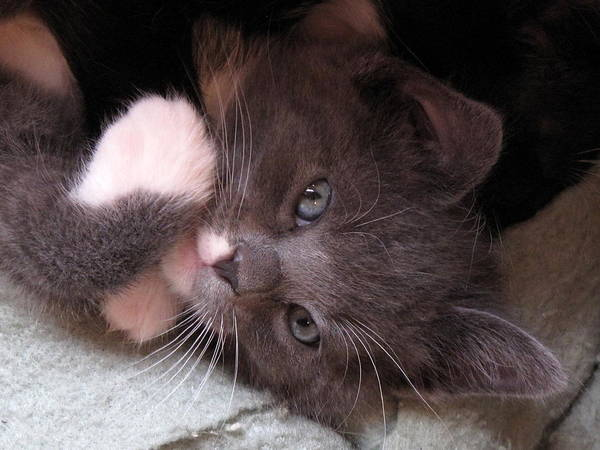 Kitty Cuteness Poster