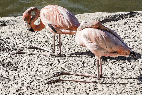 Kneeling Flamingos Poster