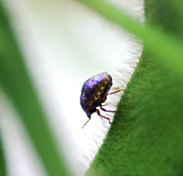 Kudzu Bug Poster