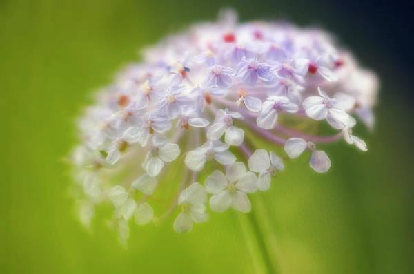 Lace Flower (didiscus Caeruleus) Poster