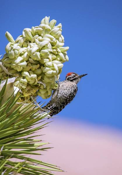 Ladder-backed Woodpecker Feeding Poster