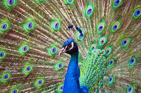 Landscape Peacock Poster
